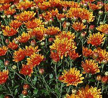 Orange Mums by joan warburton