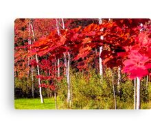 Canadian Maple Canvas Print