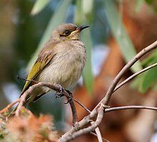 "Brown Honeyeater ~ Just another ""little brown bird""   by Robert Elliott"