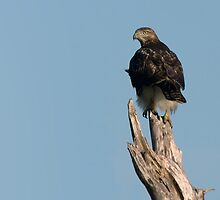 Immature Bald Eagle by Michael Mill