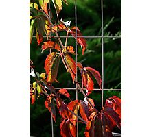 Red Leaves Of Autumn IV Photographic Print