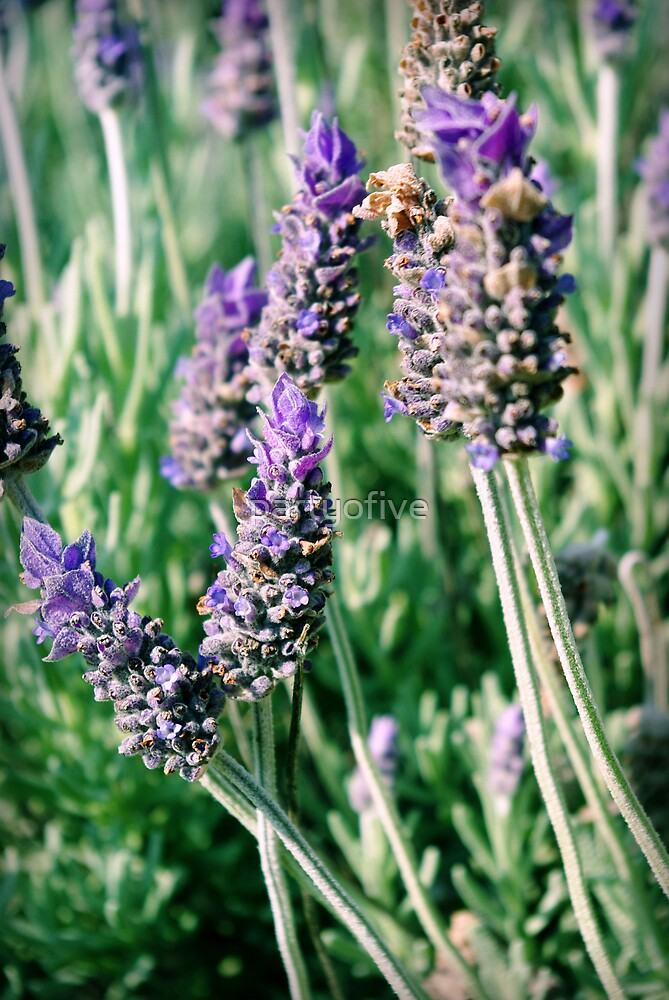 lavender patch... by partyofive