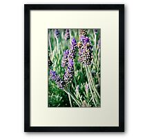 lavender patch... Framed Print