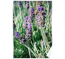 lavender patch... Poster