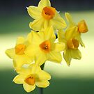 Narcissus by Brian Haslam