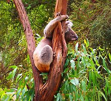True Blue Aussie A Koala In A Gum Tree by Ronald Rockman