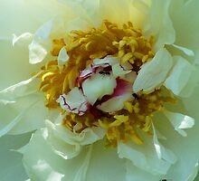 Ants Opening Peony by pamela11