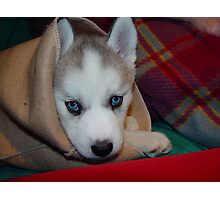 Kozen in da Blanky Husky babe (she died yesterday she was 8 years old Photographic Print