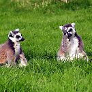 Ring Tailed Lemurs by simonbreeze