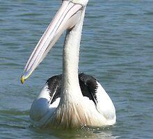 Friendly Pelican by elsha