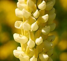 Yellow Lupin by niksheppard