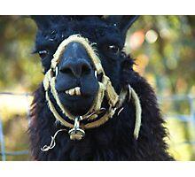 toothy llama Photographic Print