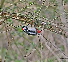 Great Spotted Woodpecker - Dendrocopos major by ianrose82