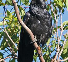 Australian Raven  by Robert Elliott