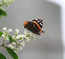 Red Admiral #2 by Jeff VanDyke