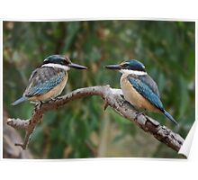 Pair of Sacred Kingfishers Poster
