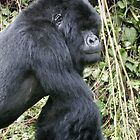Silverback Gorilla II by Steve Bulford