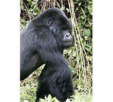 Silverback Gorilla II Photographic Print