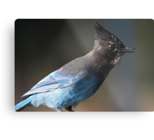 Steller's Jay ~ Provincial Bird of British Columbia, Canada Metal Print