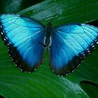 Blue Morpho 2 by patti4glory