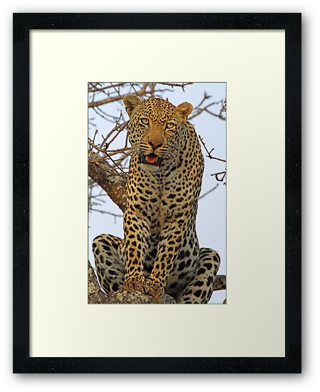 Majestic dominant male leopard(This is my tree!) by jozi1