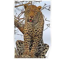 Majestic dominant male leopard(This is my tree!) Poster