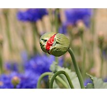 Red Flower among the Blues Photographic Print