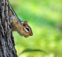 Eastern Chipmunk with Nut by Christina Rollo