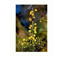 Australian Wattle Flower Art Print