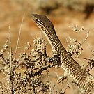 "Juvenile Sand Monitor ""Varanus gouldii"" small file by Rosie Appleton"