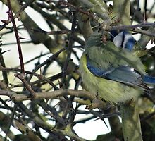 Preening Blue Tit by Caroline Smalley