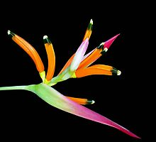 Heliconia by Magee