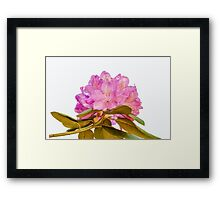 Rhododendron Full Bloom Framed Print