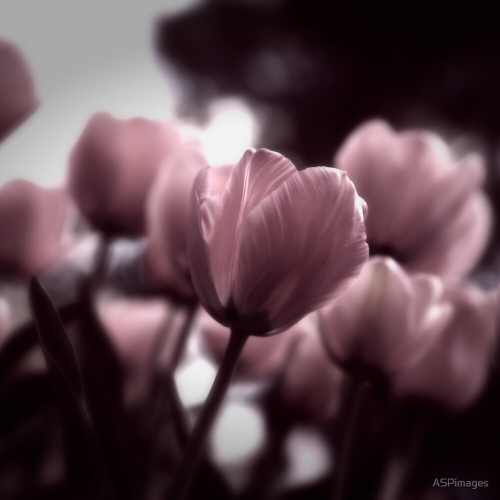 Tulip II by Adam Spence