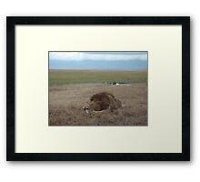 Lion on the Plains Framed Print