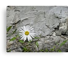 Chamomiles in the garden 7 Canvas Print