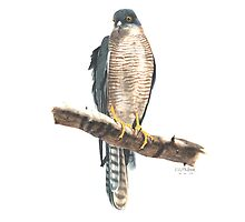 Collared Sparrow Hawk by Mark McKitterick