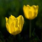 Yellow Tulip by Frank Yuwono