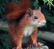 Squirrel Nutkin by Krys Bailey