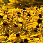 Yellow Daisys by Mark Mitrofaniuk