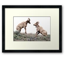 Ram fight Framed Print