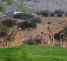 Giraffe Hill by Anne Smyth