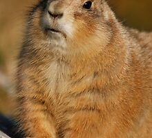 prairie dog in autumn IV by mc27