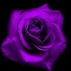 Purple Rose by Tara Johnson