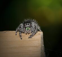 Black Jumping Spider by Renee Dawson