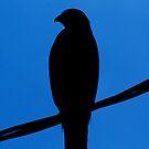 Hawk Silhouette by Troy Spencer