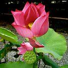 Pink Lotus  by geikomaiko