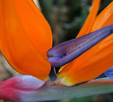 Bird of Paradise by Leesa Habener