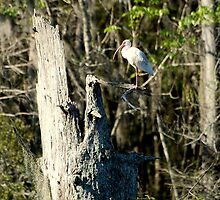 Ibis on Cypress by Troy Spencer