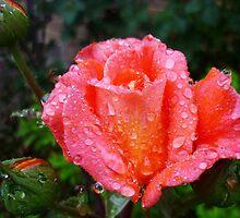 Wet Rose by maureenclark